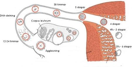 Gravid dagen efter ägglossning